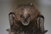 Bats Photos - Close View Of A Rare Rodrigues Fruit by Joel Sartore