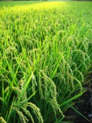 Soil Photo Posters - Close View of a Rice Field Poster by Yali Shi