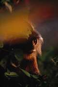 Danum Valley Conservation Area Prints - Close View Of A Silvered Leaf Monkey Print by Mattias Klum