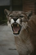 Wildcats Framed Prints - Close View Of A Snarling Male Puma Framed Print by Jason Edwards