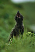 Strategies Posters - Close View Of A Vocalizing Arctic Fox Poster by Joel Sartore