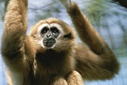 Gibbons Prints - Close View Of A White-handed Gibbon Print by Joel Sartore