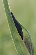 Plant Physiology Prints - Close View Of A Wild Iris Bud Print by Tom Murphy