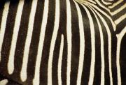 Fur Stripes Prints - Close View Of A Zebras Stripes Print by Stacy Gold