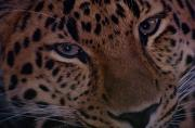 Wildcats Prints - Close View Of An Amur Leopard Print by Michael Nichols