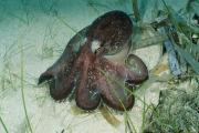 Octopuses Photos - Close View Of An Octopus by Wolcott Henry