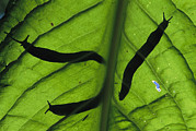 Slugs Posters - Close View Of Banana Slugs Silhouetted Poster by Joel Sartore