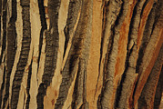 Refuges And Reserves Framed Prints - Close View Of Bark On An Old Growth Framed Print by Raymond Gehman