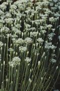 Garlic Framed Prints - Close View Of Blooming Garlic Chive Framed Print by Sam Abell