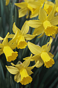 Spring Scenes Framed Prints - Close View Of Early Spring Daffodils Framed Print by Darlyne A. Murawski