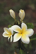 Kauai Island Posters - Close View Of Frangipani Flowers Poster by Ira Block
