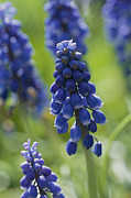 Grape Hyacinths Posters - Close View Of Grape Hyacinth Flowers Poster by Darlyne A. Murawski