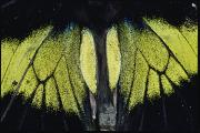 Danum Valley Conservation Area Prints - Close View Of Iridescent Moth Wings Print by Mattias Klum