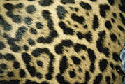 Furs Prints - Close View Of Jaguar Fur Markings Print by Jason Edwards