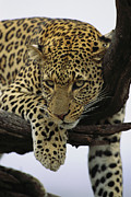 Wildcats Posters - Close view of leopard in Poster by Norbert Rosing