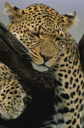 Wildcats Posters - Close view of leopard Poster by Norbert Rosing