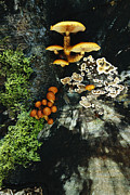 Woodland Scenes Posters - Close View Of Mushrooms And Other Fungi Poster by Norbert Rosing