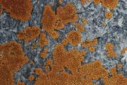 Close View Of Orange Lichen Growing Print by Stephen Sharnoff