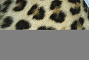 Furs Prints - Close View Of Persian Leopard Fur Print by Jason Edwards