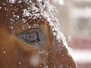 Snow Scenes Framed Prints - Close View Of Snowflakes On A Horses Framed Print by Bruce Dale