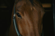 Thoroughbred Horse Art - Close View Of The Head Of A Bay Horse by Stacy Gold