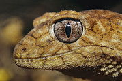 Lizards Photos - Close View Of The Head Of A Rough by Jason Edwards