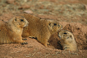 Prairie Dogs Posters - Close View Of Three Prairie Dogs Poster by Annie Griffiths