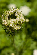 Queen Annes Lace Photos - Closed Up by Lauri Novak