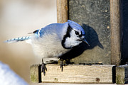 Feeding Photographs Prints - Closeup Of A Blue Jay Cyanocitta Print by Tim Laman