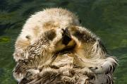 Anthropomorphism Photo Prints - Closeup Of A Captive Sea Otter Covering Print by Tim Laman