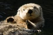 Anthropomorphism Photo Prints - Closeup Of A Captive Sea Otter Making Print by Tim Laman