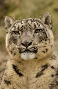 Captive Photos - Closeup Of A Captive Snow Leopard by Tim Laman
