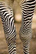 Captive Photos - Closeup Of A Grevys Zebras Legs Equus by Tim Laman