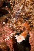 Lionfish Framed Prints - Closeup Of A Lionfish Framed Print by Tim Laman