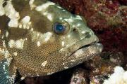 Eye Contact Photos - Closeup Of A Marbled Grouper by Tim Laman