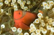 Animal Portraits Art - Closeup Of A Spinecheek Anemonefish by Tim Laman