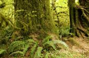 Olympic National Park Prints - Closeup Of A Tree Trunk And Ferns Print by Tim Laman