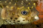 Porcupine Fish Art - Closeup Of A Yellowspotted Burrfish by Tim Laman