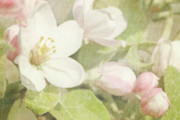 Soft Grunge Framed Prints - Closeup of apple blossoms in early Framed Print by Sandra Cunningham