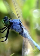 Dragonflies Art - Closeup of Blue Dragonfly by Carol Groenen