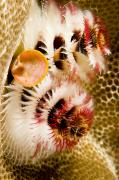 Moorea Photos - Closeup Of Christmas Tree Worms by Tim Laman
