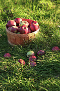 Fall Grass Prints - Closeup of freshly picked apples  Print by Sandra Cunningham