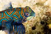 Malapascua Island Art - Closeup Of Male Mandarinfish by Tim Laman