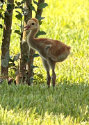 Cranes Prints - Closeup of Sandhill Baby Print by Carol Groenen
