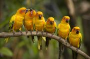 Portraits Of Animals Prints - Closeup Of Six Captive Sun Parakeets Print by Tim Laman