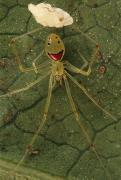 Arachnids Posters - Closeup Of The Happy Face Spider Poster by Darlyne A. Murawski