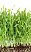 Agriculture Art - Closeup of wheatgrass on white by Sandra Cunningham