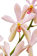 Descriptive Posters - Closeup Pink Orchid Poster by Atiketta Sangasaeng