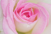Wet Rose Framed Prints - Closeup Pink Rose Framed Print by Atiketta Sangasaeng