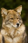 Captive Photos - Closeup Portrait Of A Captive Coyote by Tim Laman